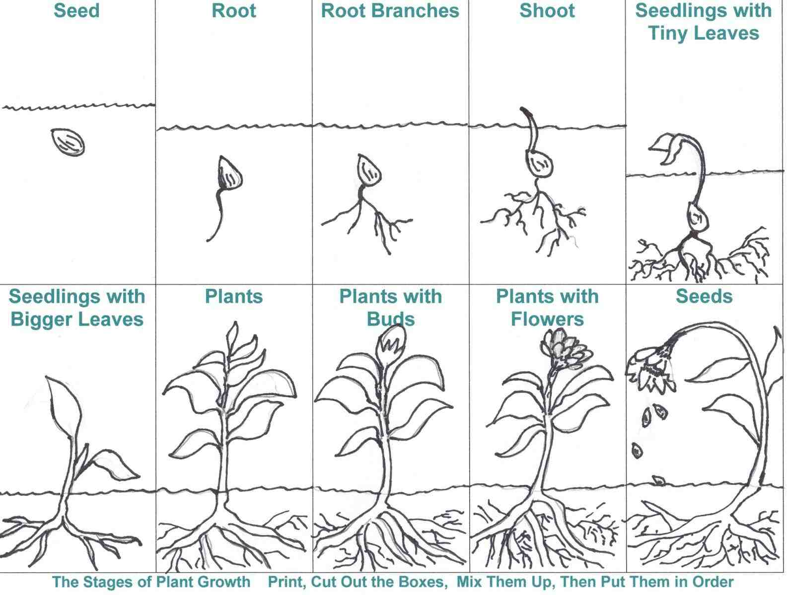 Flowering Plant Life Cycle Worksheet