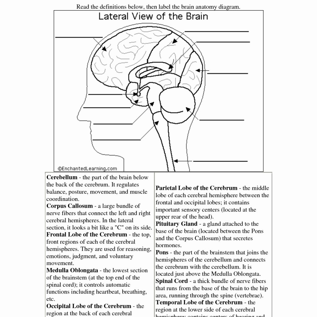 The Brain Worksheets