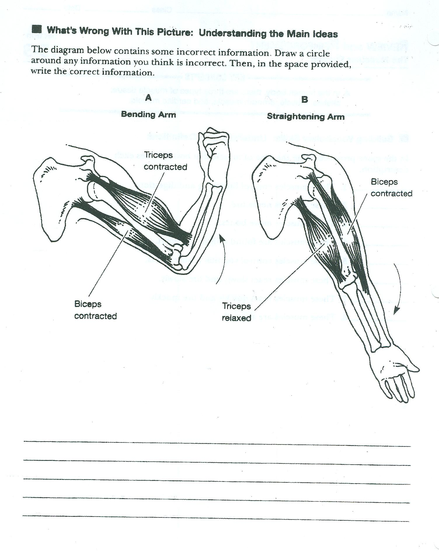 Skeletal System Worksheet Answers Com Muscular