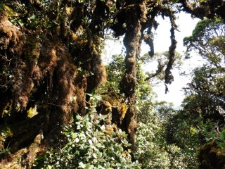 Bosque musgoso en las Cameron Highlands