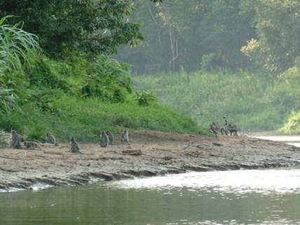 Macacos en la orilla del río Kinabatangan