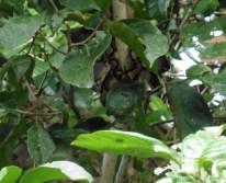 Serpiente descansando en árbol