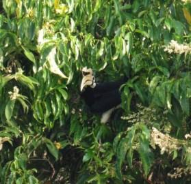 Hornbill (bucerótido)
