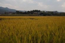 Pueblo Tradicional de Hahoe cerca de Andong, campos de arroz