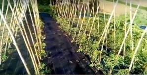 Come si coltivano i pomodori impianto