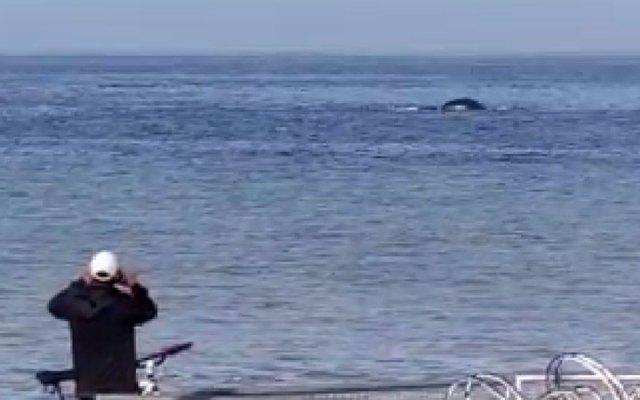 Humpback whales are seen in Puerto Vallarta's Malecón