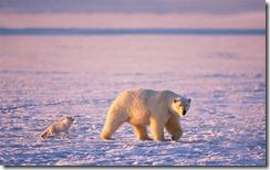 An arctic fox (Alopex lagopus) follows a polar bear (Ursus maritimus) as it hunts and hopes for leftover meat, on the 1002 coastal plain, Arctic National Wildlife Refuge Alaska, USA