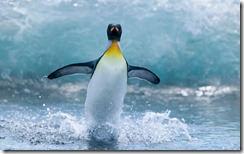 King Penguin Standing in Surf