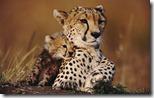 Cheetah cub cuddles up to mother at Masai Mara National Reserve, Kenya