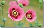 Poppies - unpocogeek.com