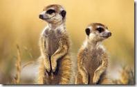 Meerkats, Botswana