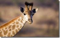 Young giraffe (Giraffa camelopardalis), Ithala (Ntshondwe) Game Reserve, KwaZulu Natal, South Africa