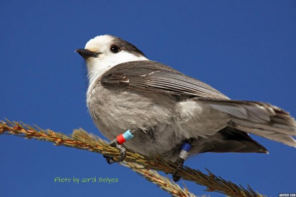 Canada S National Bird Canada Gray Jay Unpublished Ottawa