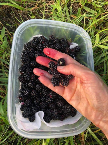 Wild Blackberries in Hand