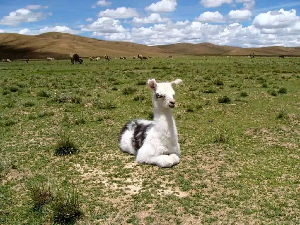 lama, Andes, Bolivie, Uyuni