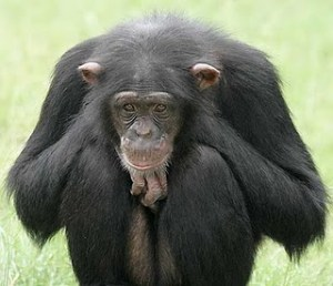 sad_chimp