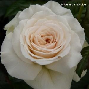 Pride and Prejudice Rose