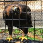 Golden Eagle at Sulphur Nature Center, Hayward.