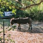 Buddy the new donkey of Bol Park, Palo Alto.