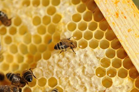 Affaiblissement des abeilles