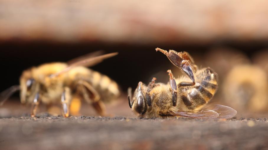 """Résultat de recherche d'images pour """"image colonie abeille morte"""""""