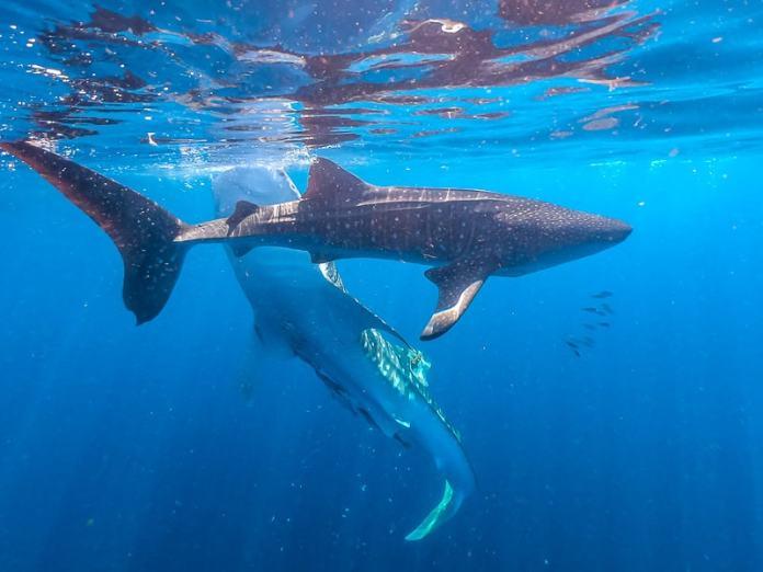 Swim With Whale Sharks Around Cenderawasih Bay Outside Nabire In Papua Indonesia Unusual Traveler