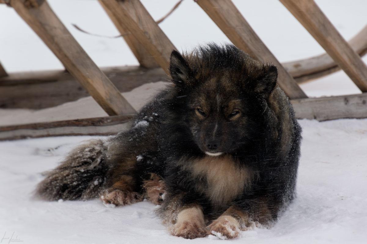 I cani dei Nenets