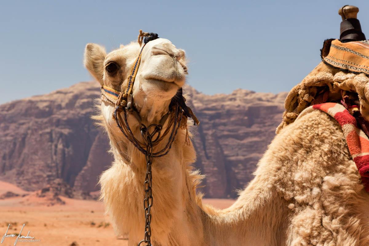 Giordania: cammello nel Wadi Rum