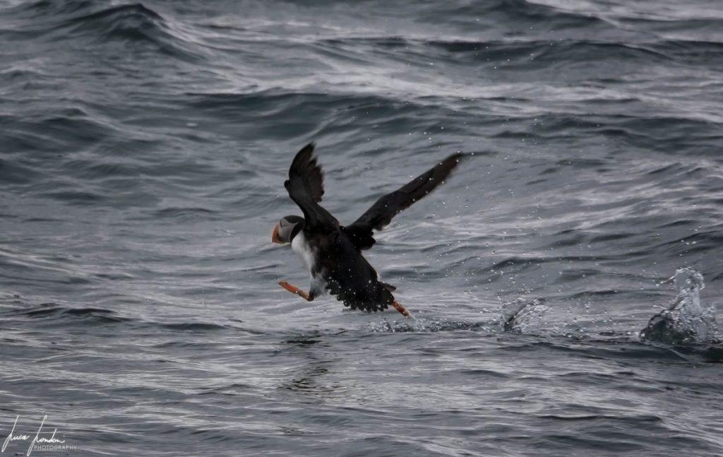 Itinerario alle Faroe: Pulcinella di mare