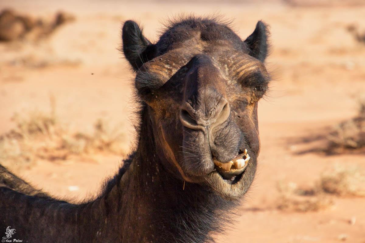Wadi Rum: dromedari ovunque!