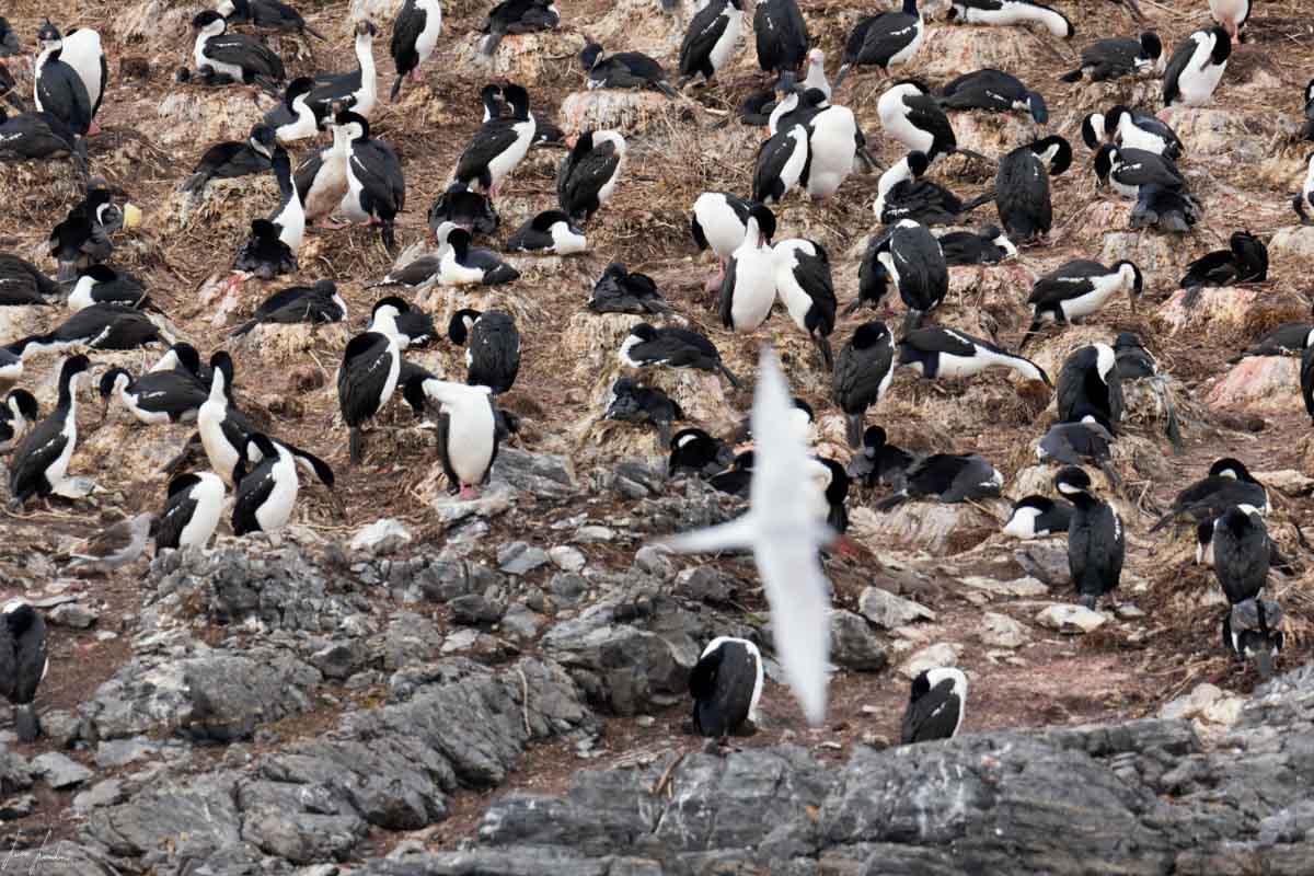 Canale di Beagle: Cormorani all'Isla de Los Pájaros