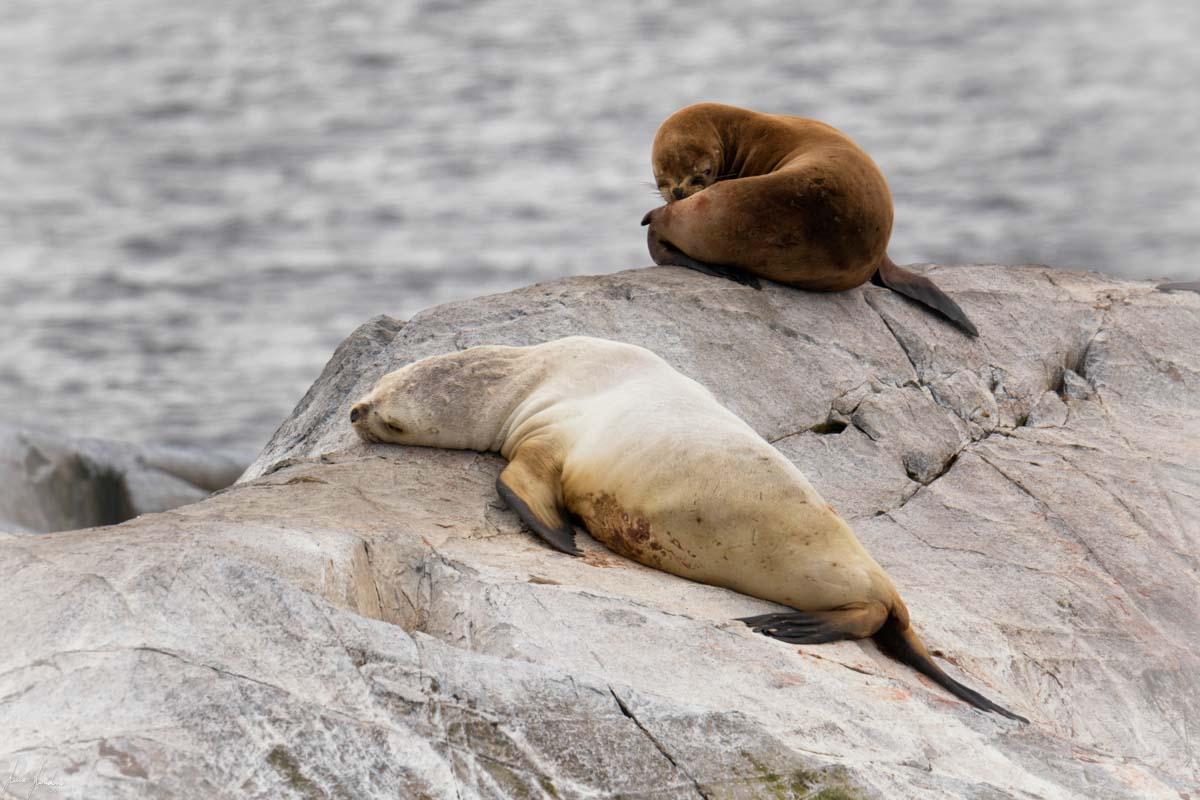 Canale di Beagle: Leone Marino all'Isla de Los Lobos