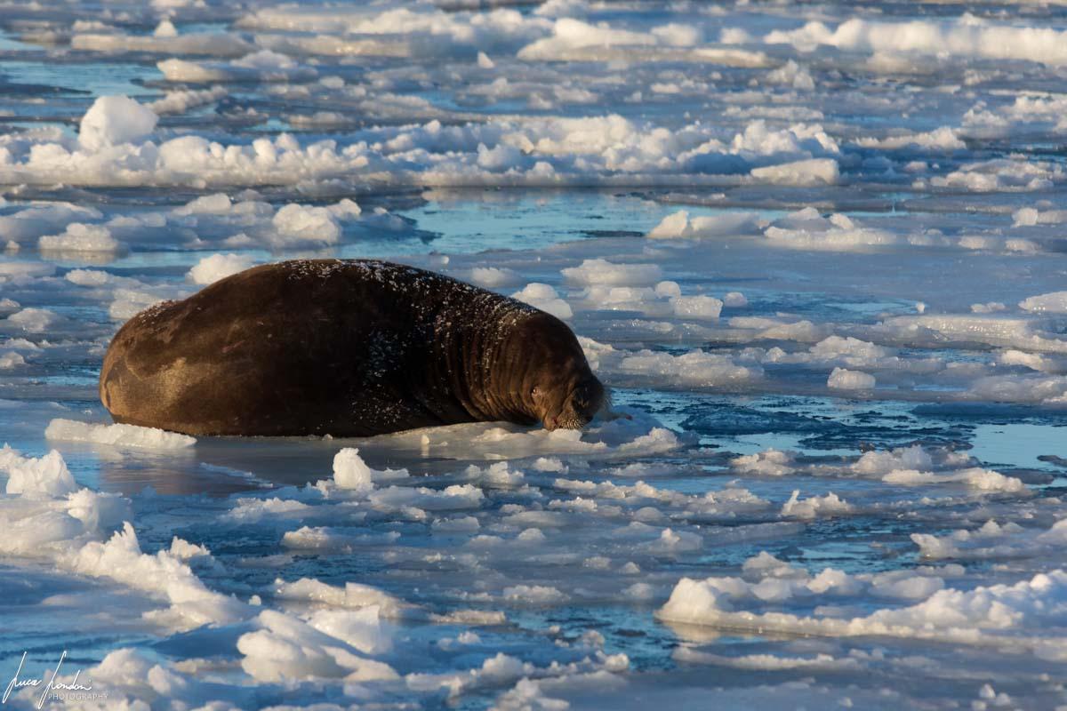 Curiosità sui ghiacciai: Tricheco su banchisa alle Svalbard