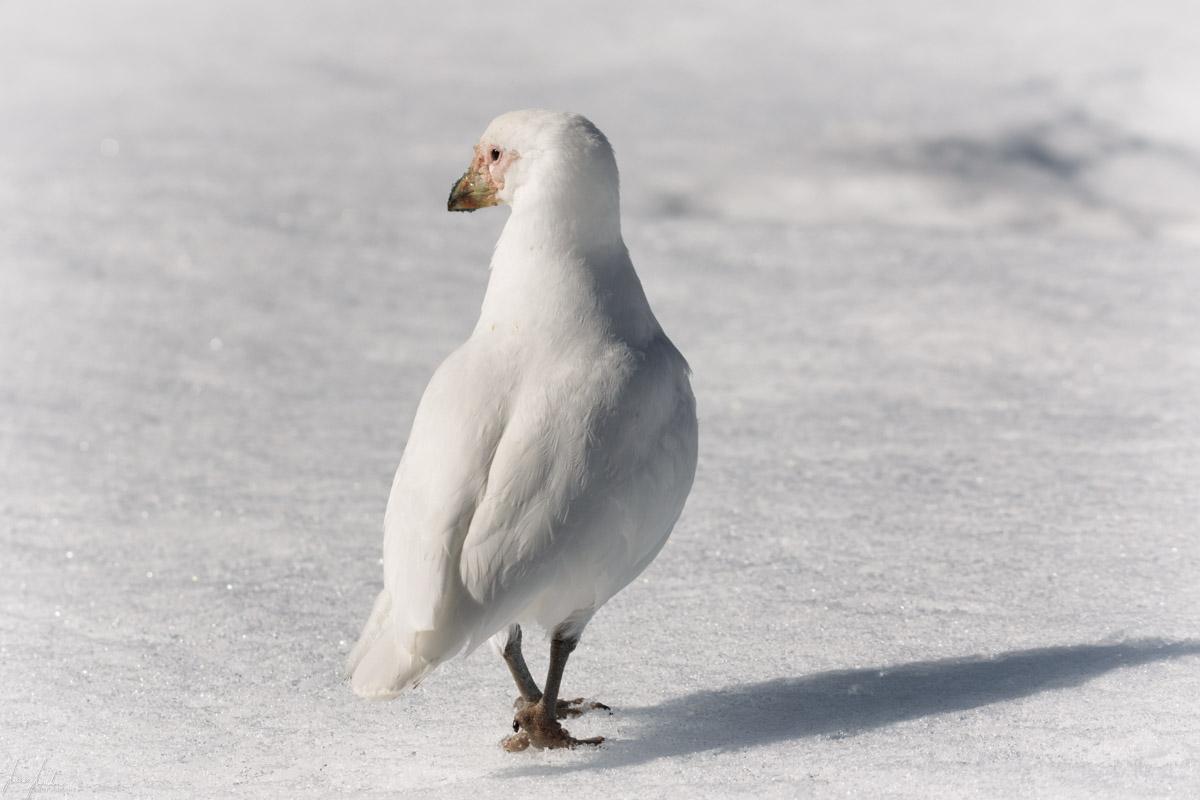 Antartide: Petrello delle Nevi o Antartico