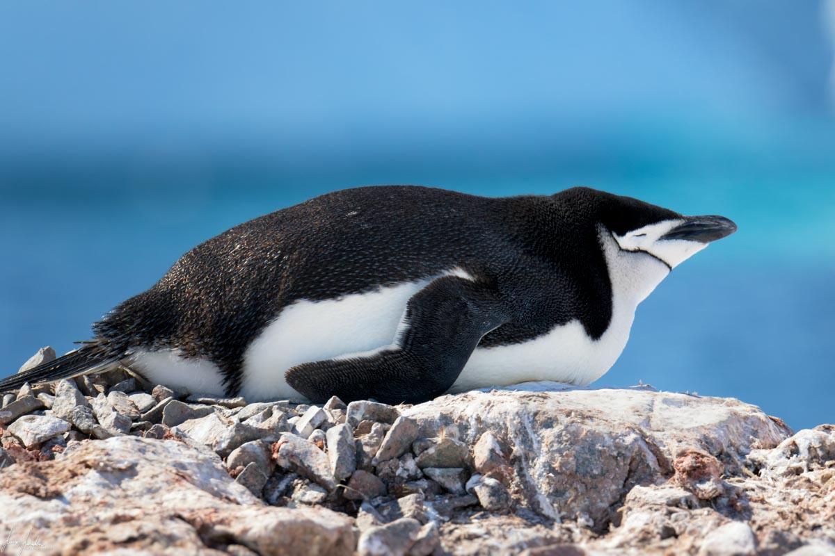 Antartide: Pinguino Chinstrap