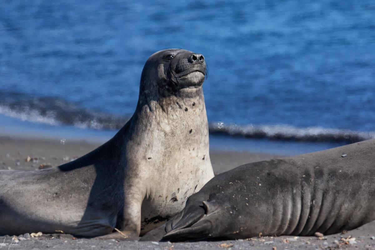 Antartide: Elefante marino femmina