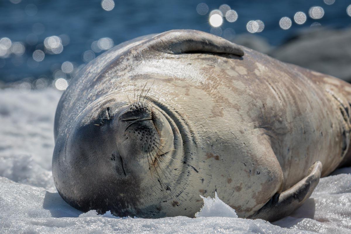 Antartide: Foca di Weddell