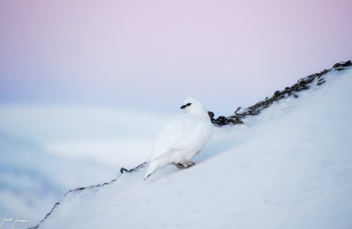 Artico: pernice artica