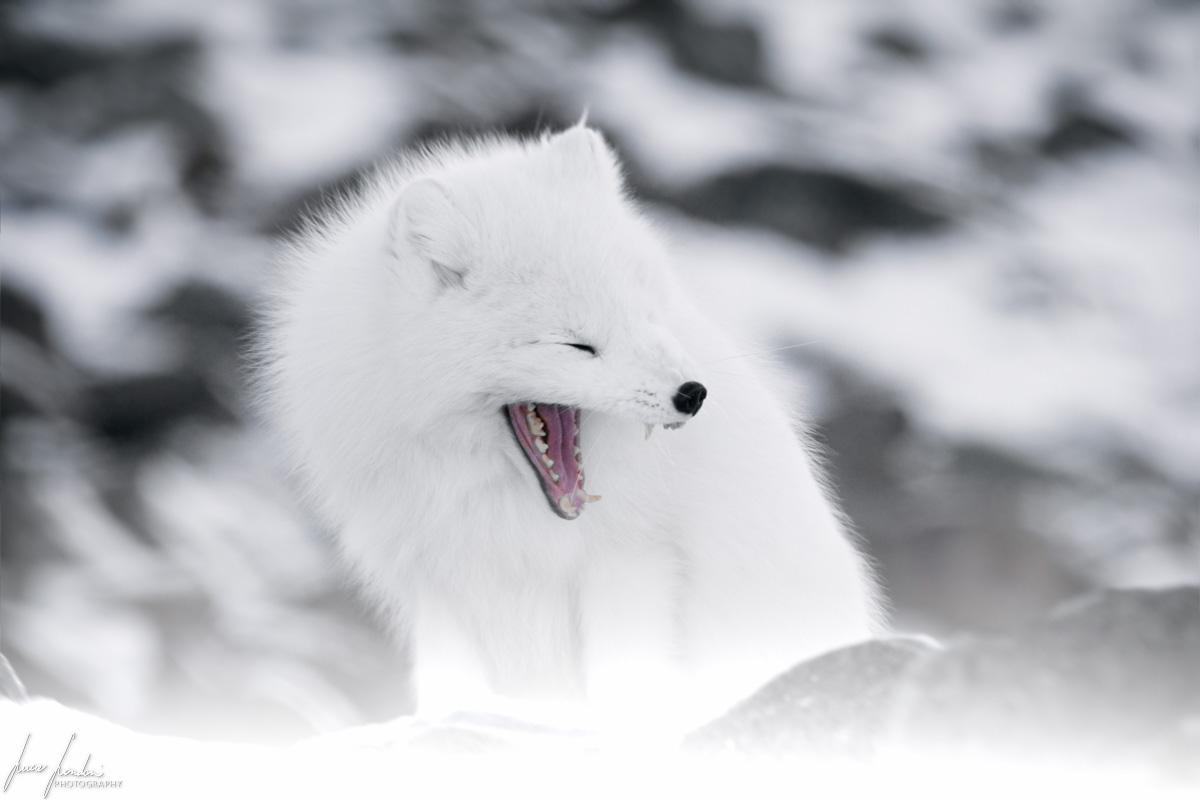 Artico: volpe artica