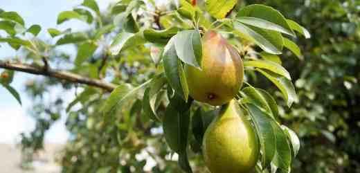 冬天到了多喝梨子汁 獲得的九大功效