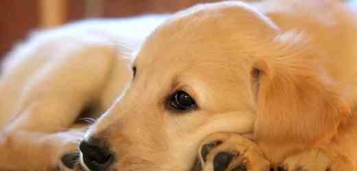金毛犬拉肚子怎麼辦?什麼原因導致拉稀的?