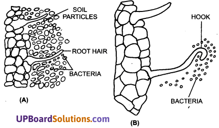 UP Board Solutions for Class 11 Biology Chapter 12 Mineral Nutritionimage 2