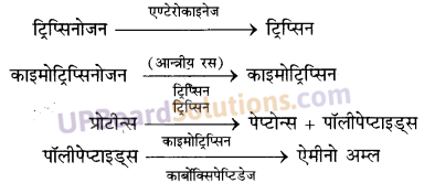 UP Board Solutions for Class 11 Biology Chapter 16 Digestion and Absorption image 1