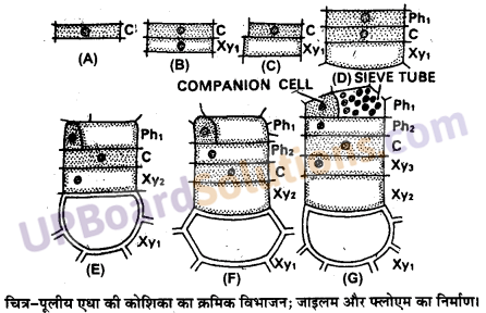 UP Board Solutions for Class 11 Biology Chapter 6 Anatomy of Flowering Plantsimage 1