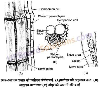 UP Board Solutions for Class 11 Biology Chapter 6 Anatomy of Flowering Plants image 18