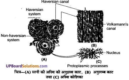 UP Board Solutions for Class 11 Biology Chapter 7 Structural Organisation in Animalsimage 19