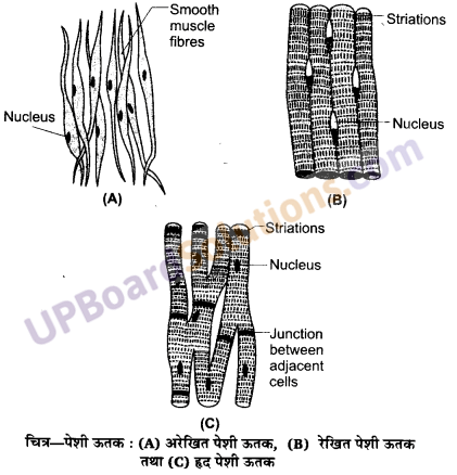 UP Board Solutions for Class 11 Biology Chapter 7 Structural Organisation in Animalsimage 21