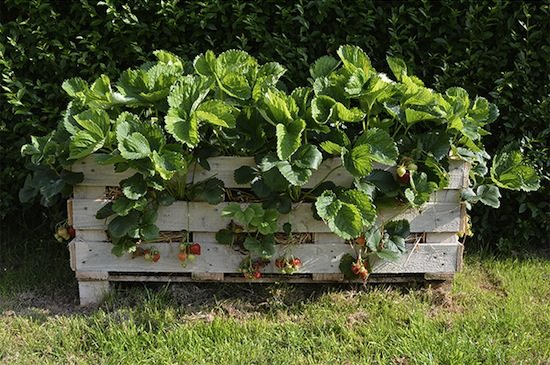 Upcycled garden ideas - strawberry pallet planter