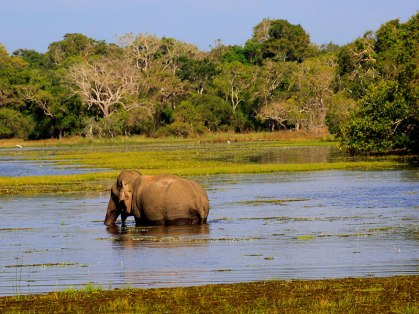 wilpattu-national-park-elephant