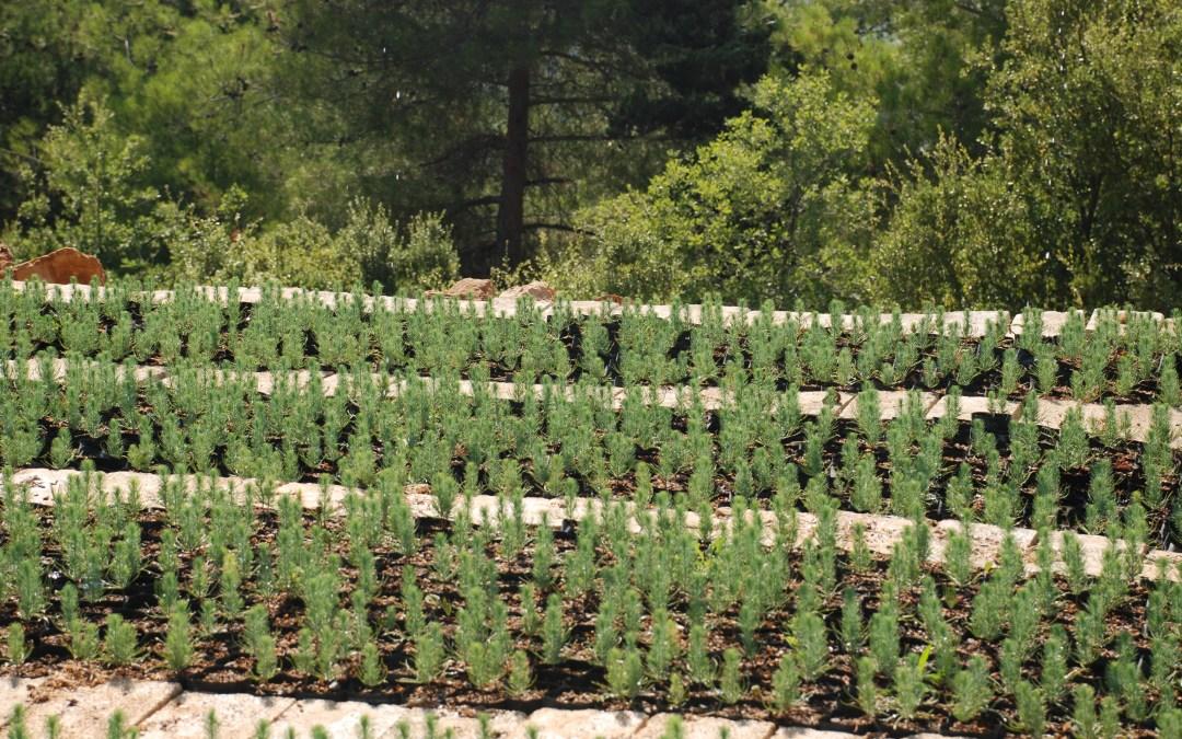 منظمة الأغذية والزراعة للأمم المتحدة ووزراة الزراعة في لبنان يطلقان المبادئ التوجيهية لادارة غابات الصنوبر المثمر